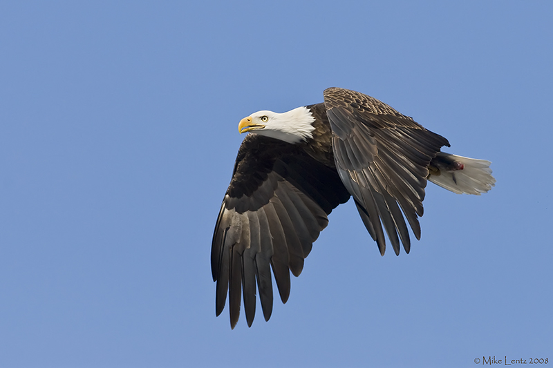 Bald Eagle flies by with fish in talons