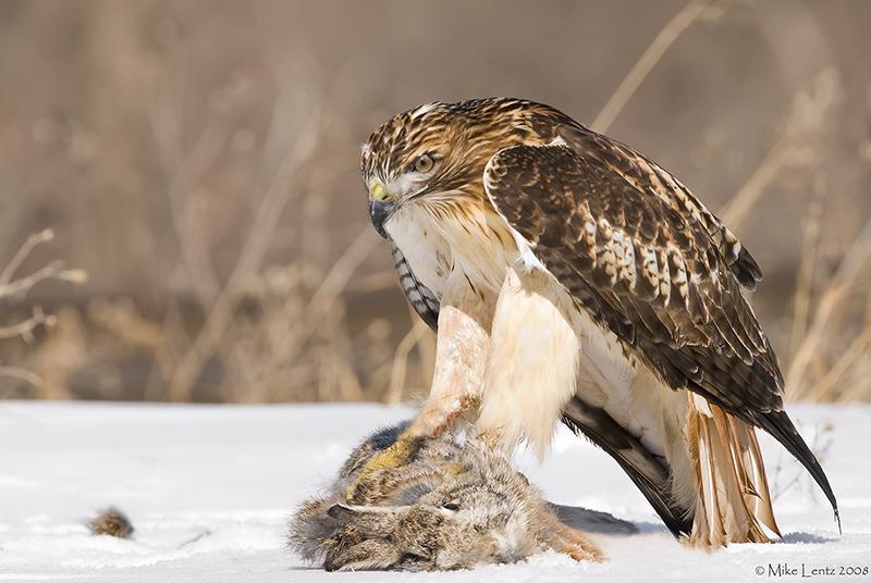 Redtail juvie over prey
