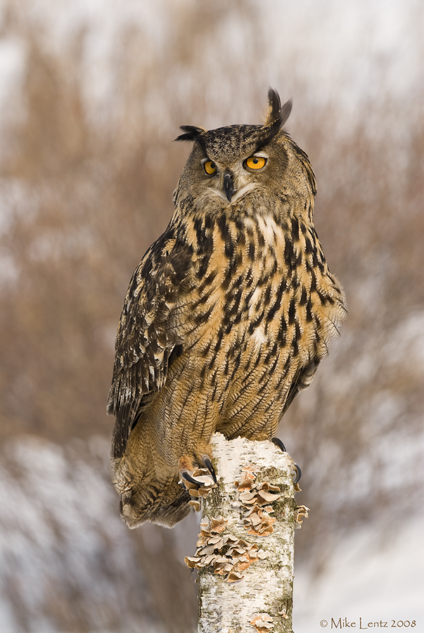 Eagle Owl on birch