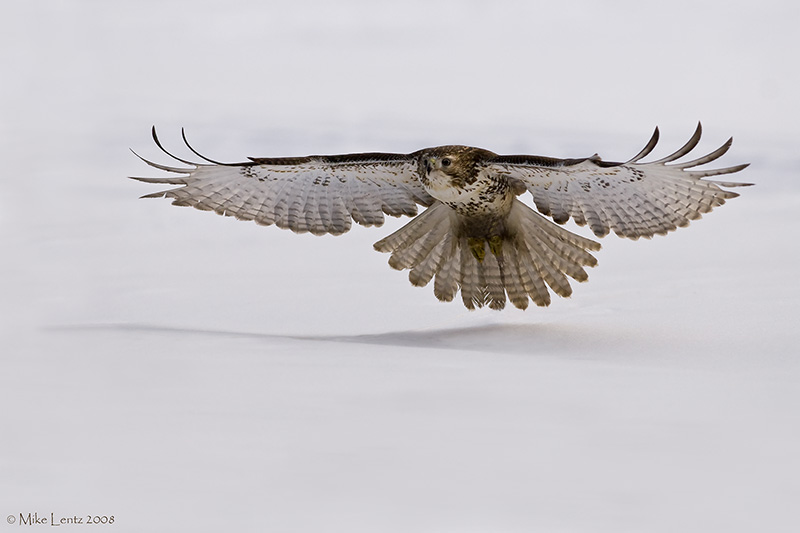 Redtail over snow and low