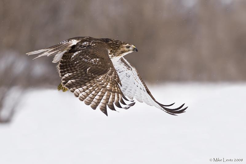 Redtail jumper