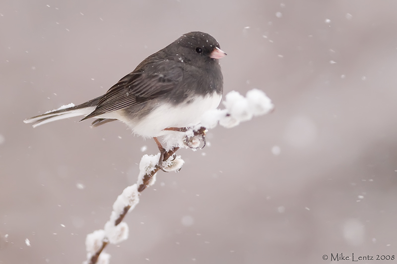Junco on snowy pussy willows