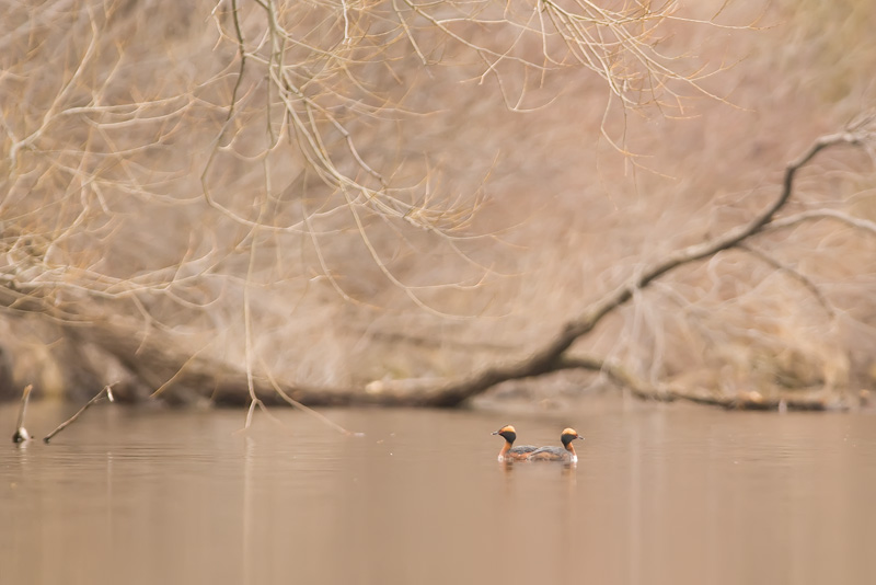 Horned Grebes in their safe haven