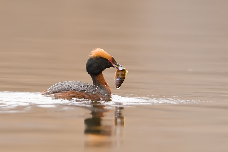 Horned Grebe with sunfish