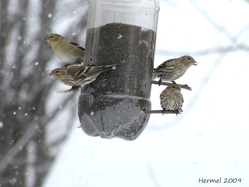 Chardonneret jaune - Tarin des pins - American Goldfinch - Pine Siskin