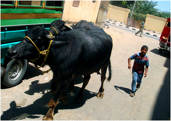 The young cattle driver
