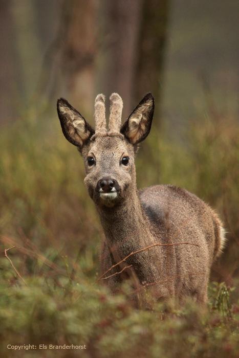 Reebok - Roe Deer