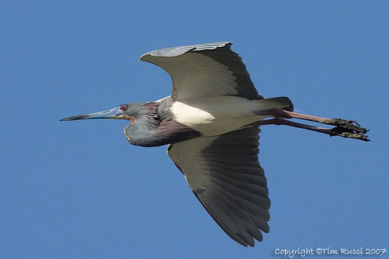 29001  - Tricolor Heron