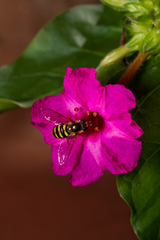 Four OClock Flower & hoverfly