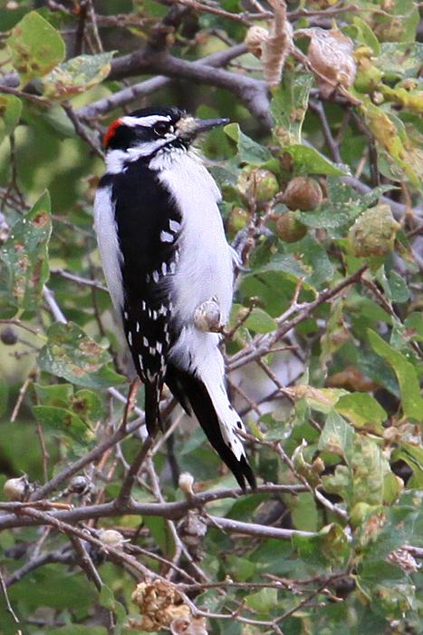 Woodpecker, Hairy 3518