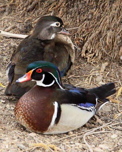 Duck, Wood 1315