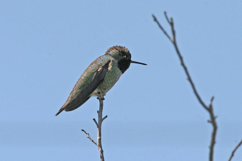 0195 Black Chinned Hummingbird