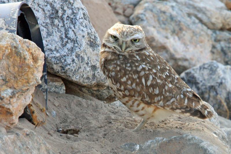 0112 Burrowing Owl
