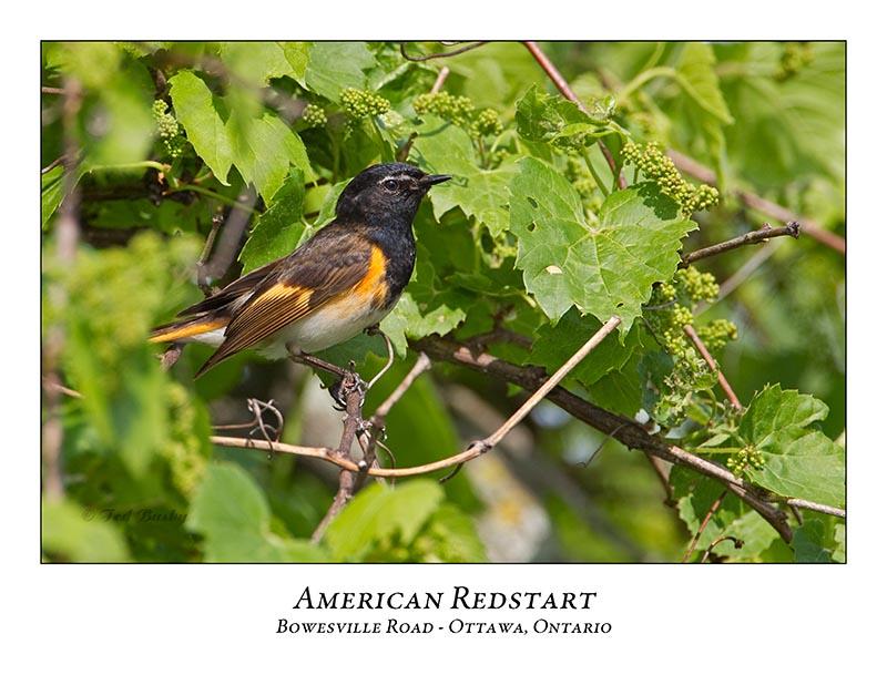 American Redstart-014