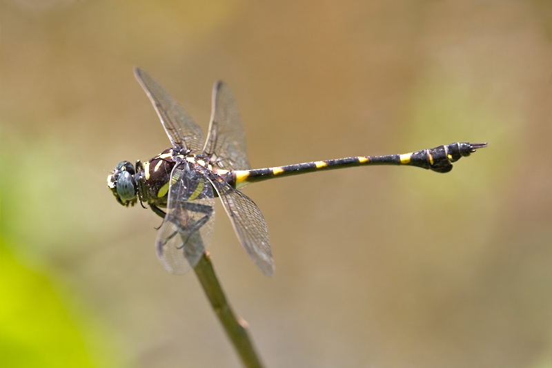 Common Clubtail, Common Flangetail, Male. Ictinogomphus decoratus