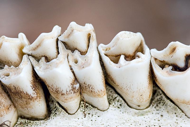Teeth from Deer Skull