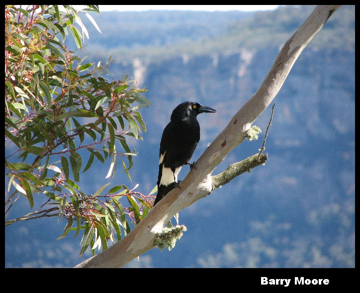 Currawong at Three Sisters Lookout