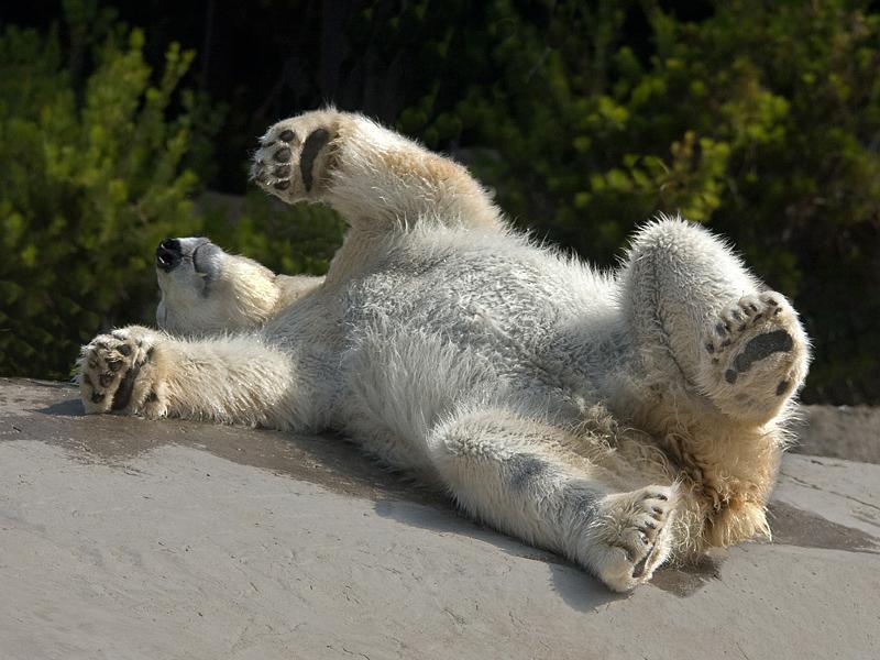 Polar Bear - San Diego Zoo