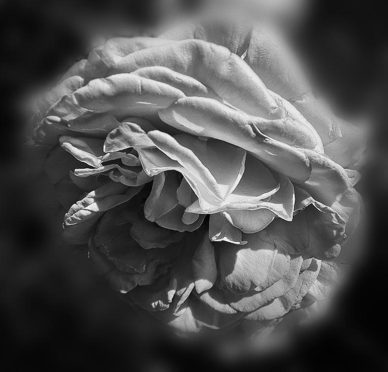 A rose in black & white