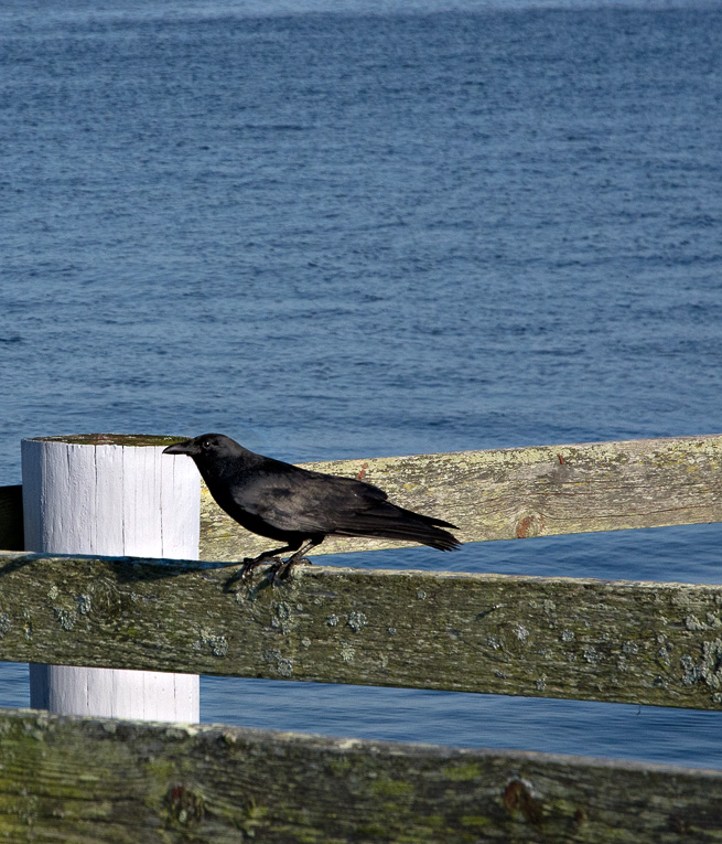 A crow at the shore #2