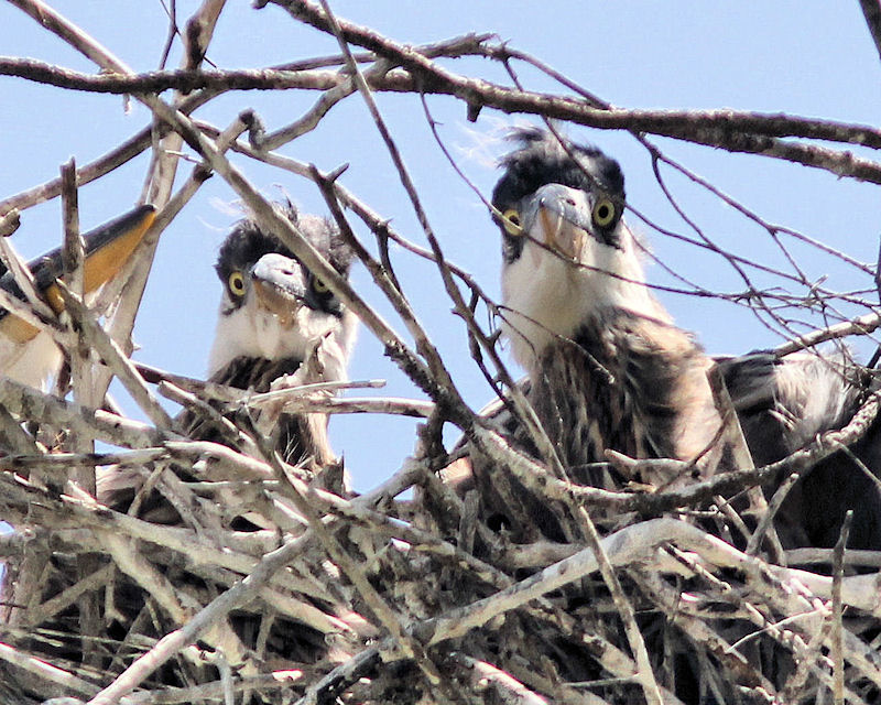 09 Heron Chicks.jpg