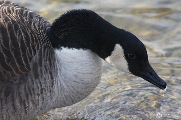 Canadian Goose.jpg