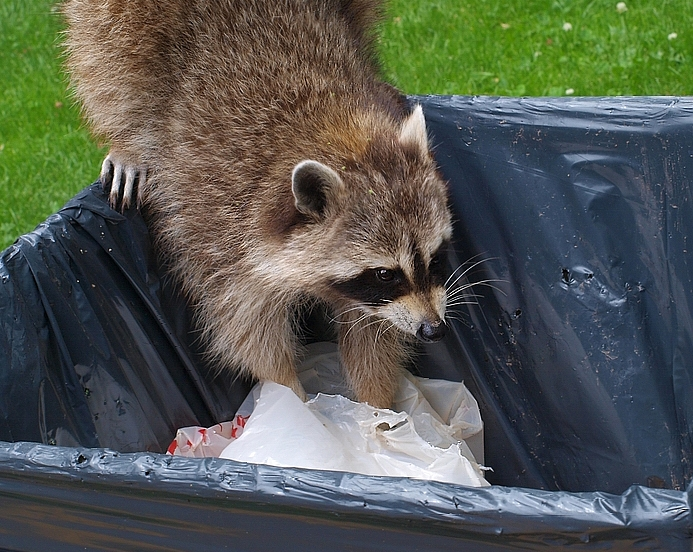 Raccoon and Her lunch Bag  (Scarborough)