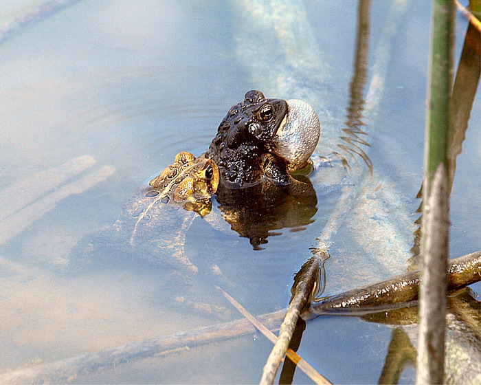 Spring  Toads