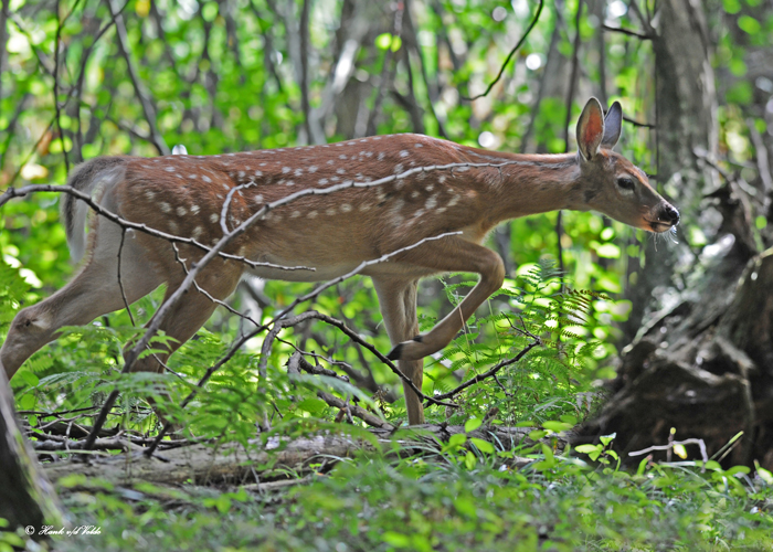 20100908 051, 057 White-tailed Deer SERIES.jpg