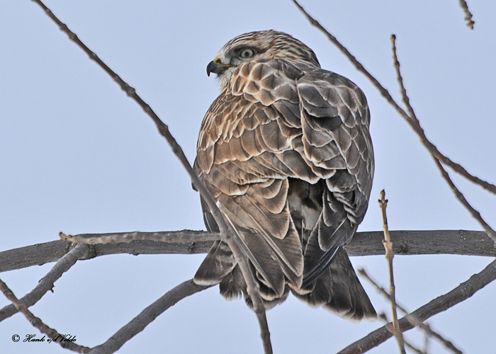 20110131 530  SERIES -  Rough-legged Hawk HP.jpg