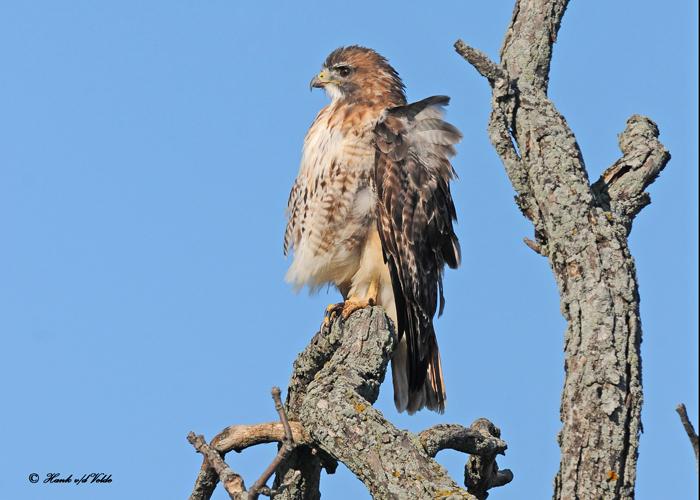 20111028 - 1 493 SERIES - Red-tailed Hawk.jpg