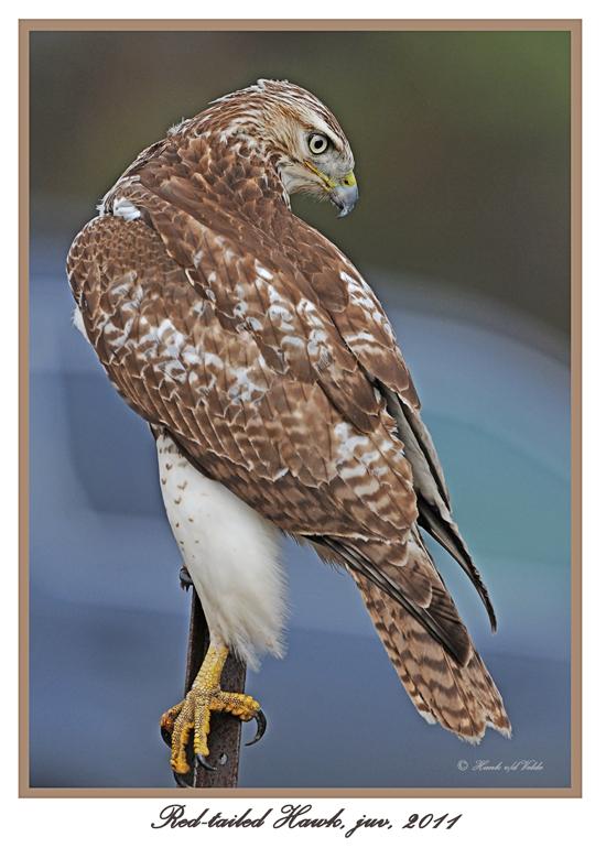20111222 1656 Red-tailed Hawk,juv.jpg