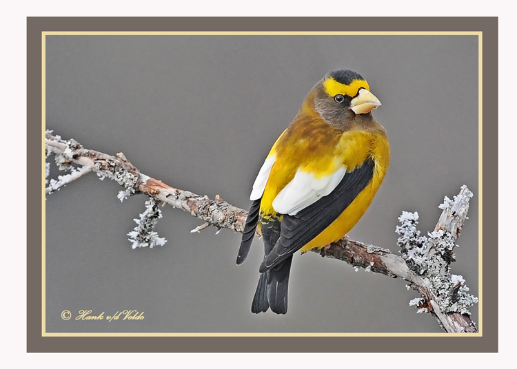 20120126 1083 1r1a Evening Grosbeak.jpg