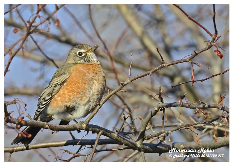 20121120 013 SERIES  American Robin & B Waxwing.jpg