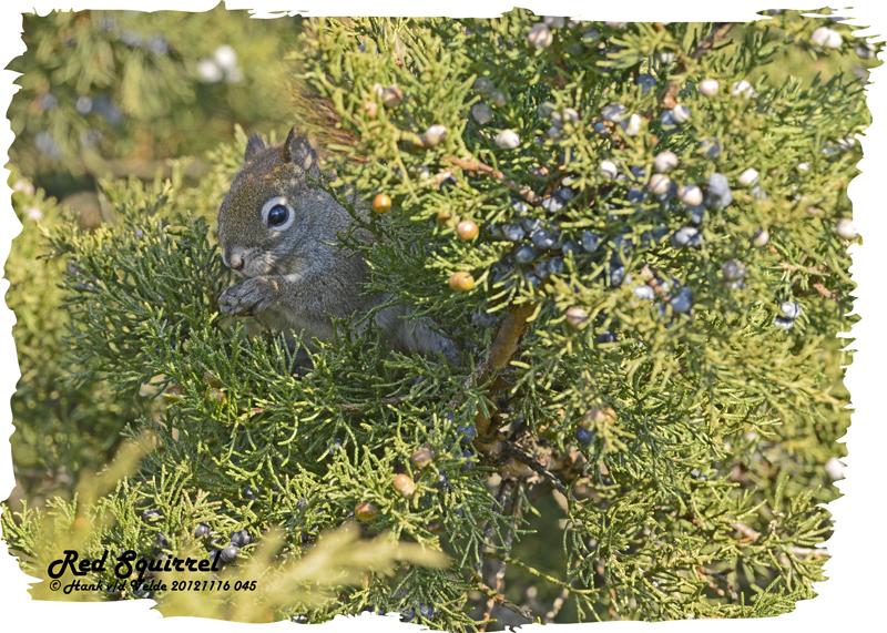 20121116 045 Red Squirrel.jpg