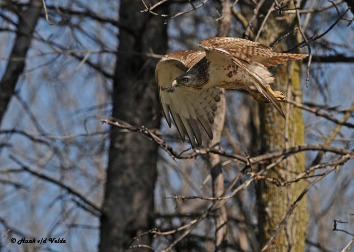 20120430 237 Red-tailed Hawk.jpg