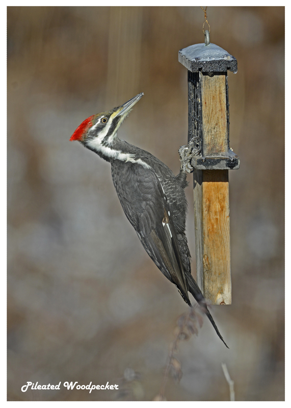 20121211 142 Pileated Woodpecker.jpg