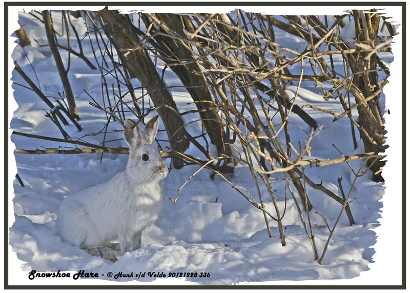 20121228 336 Snowshoe Hare 1r1.jpg