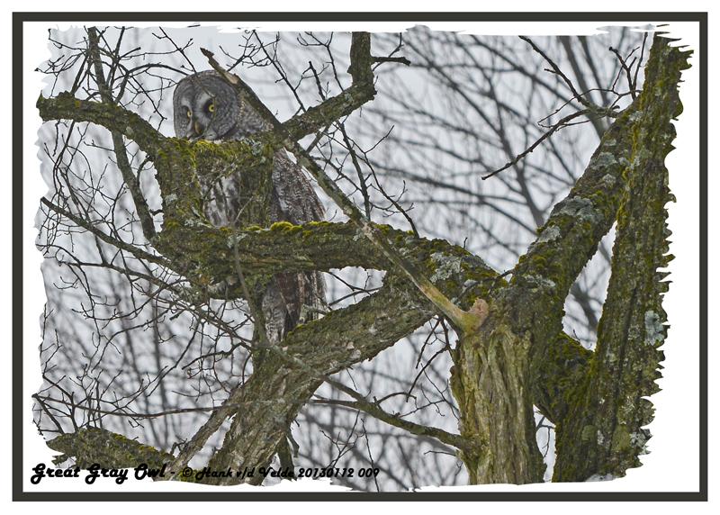 20130112 009 Great Gray Owl2.jpg
