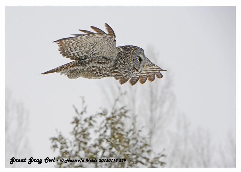20130119 359 Great Gray Owl.jpg
