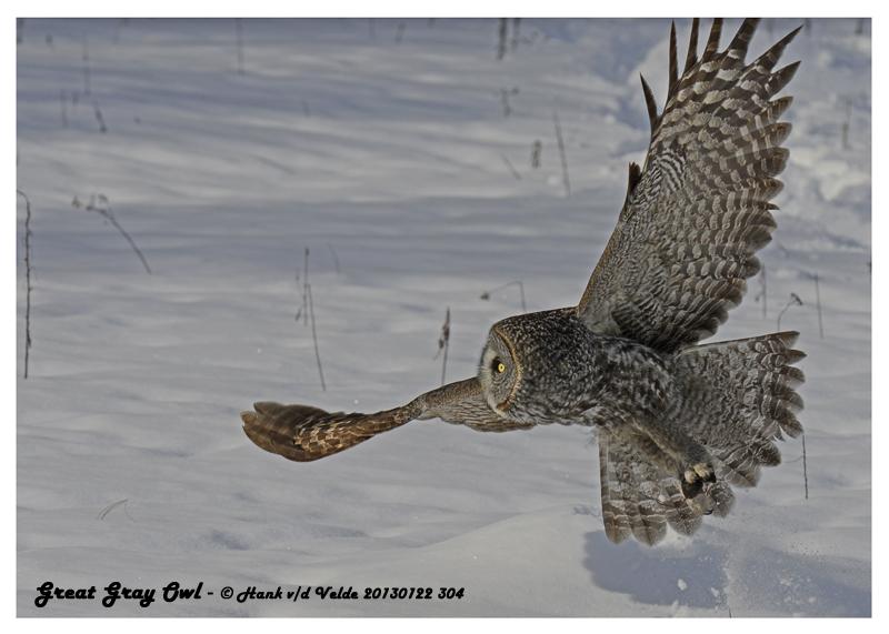 20130122 304 Great Gray Owl.jpg