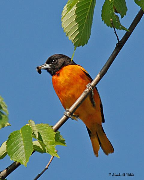 20070614 073 Baltimore Oriole (male)