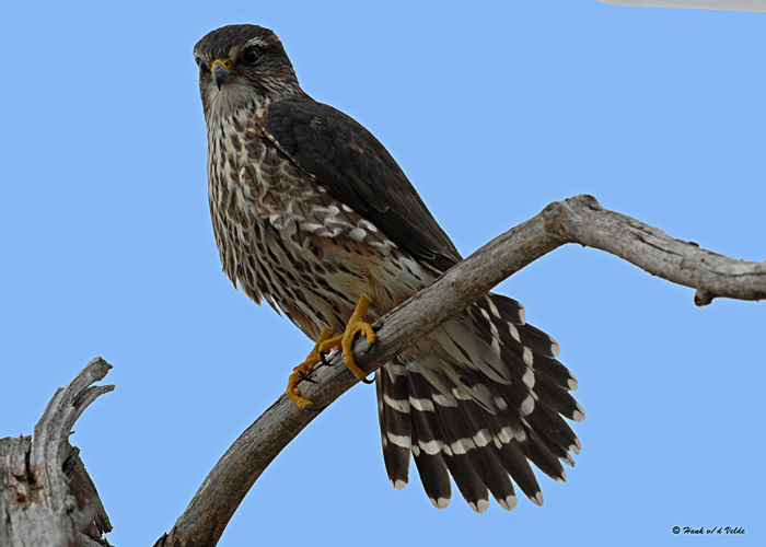 20080118 010 Merlin.jpg