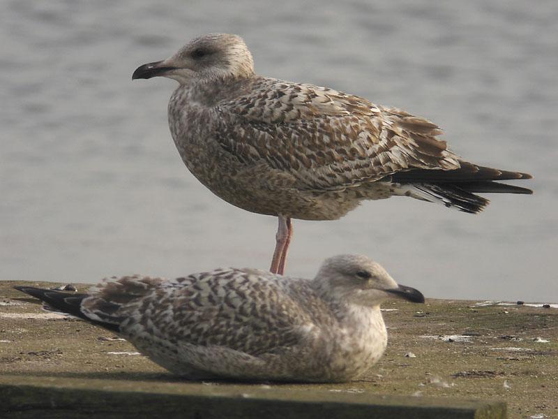 Gråtrut - Herring Gull  (Larus argentatus)
