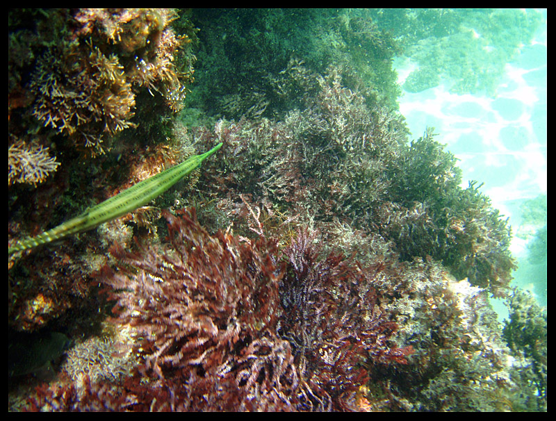 Trumpet Fish and Coral