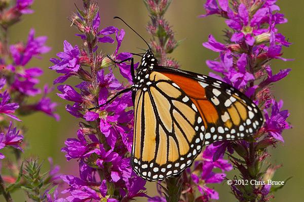 Monarch (<em>Danaus plexippus</em>)