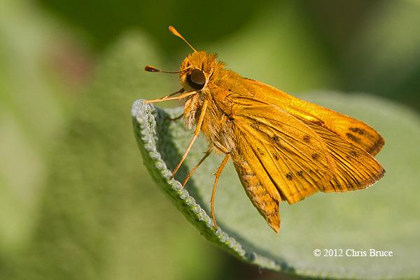 Fiery Skipper (<em>Hylephila phyleus</em>)