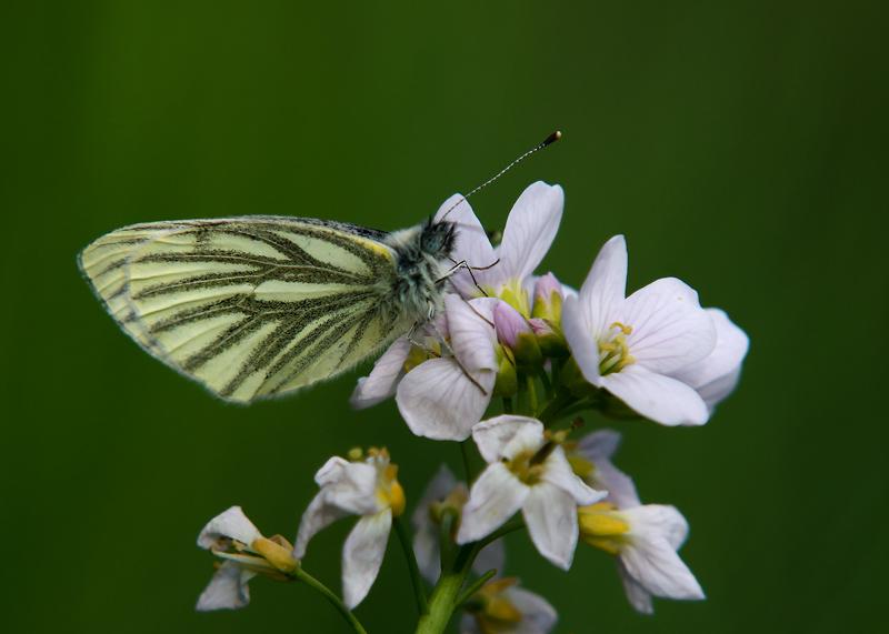 Klein Geaderd Witje - Green-veined White