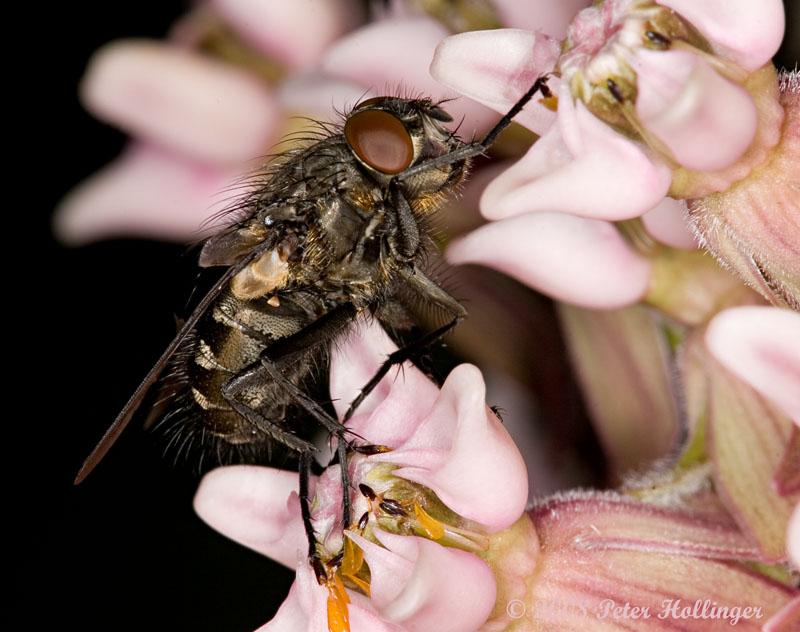 Fly Caught in Milkweed Flower