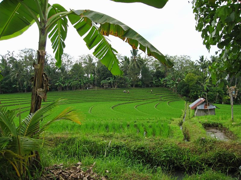 Rice Terraces in Pupuan